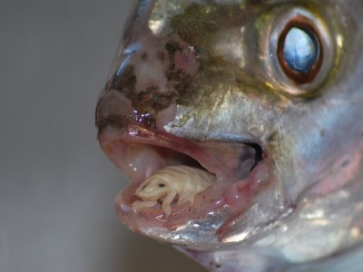Cymothoa Exigua